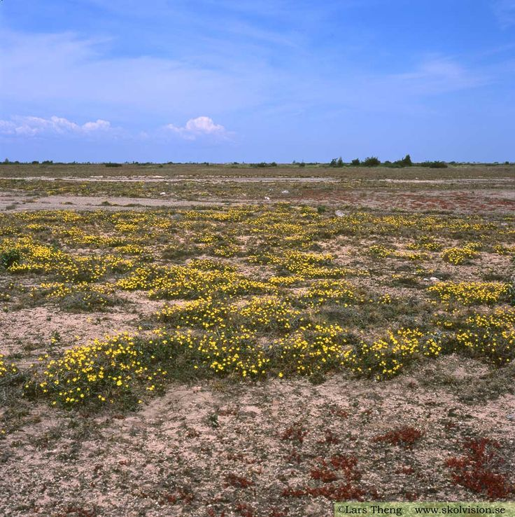 Stora Alvaret (the Great Alvar) is a limestone barren plain on the island of Öland, Sweden. It contains numerous rare species of vegetation. The yellow plant is a species of Helianthemum (H. oelandicum) [Sw: ölands solvända]. Photo: Lars Theng