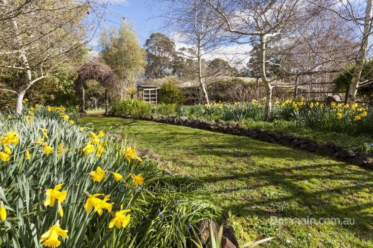 Daffodils in cottage garden in Sheffield, Tasmania