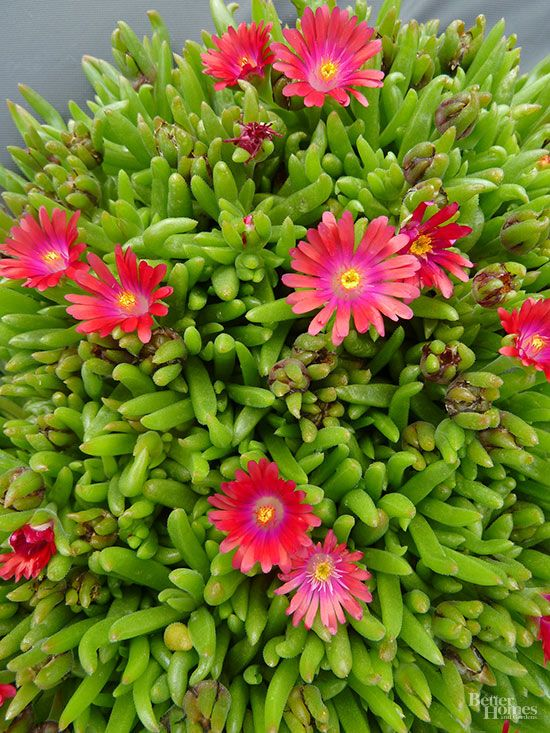 Resistant to heat, drought, poor soil, and salt, ice plant is about as indestructible as you can get. This mat-forming perennial has fleshy gray-green foliage that's almost hidden by a barrage of jewel-tone, daisylike blooms in purplish-pink, yellow, white, orange, or red.