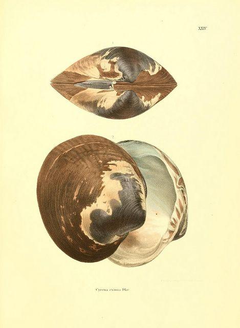 Novitates conchologicae..  Cassel,T. Fischer,1854-79..  biodiversitylibrary.org/page/10992405