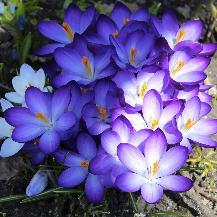 Plant crocuses for an early spring pop of color.