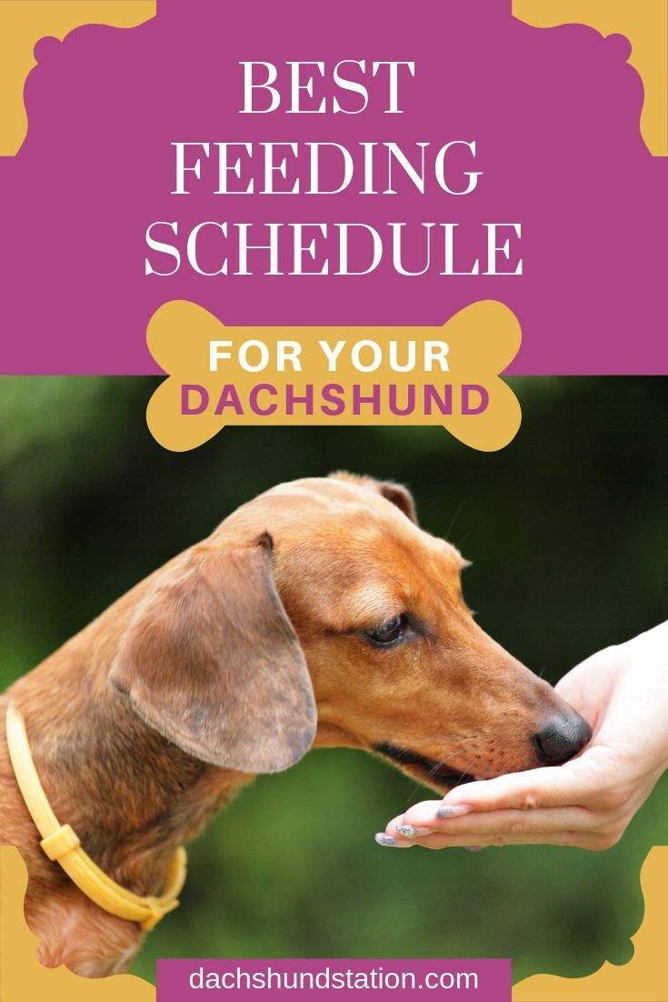 3 Easy Ways To Keep Your Dachshund Healthy Dachshund Station Puppy Feeding Schedule Dachshund Puppy Training Dog Feeding Schedule