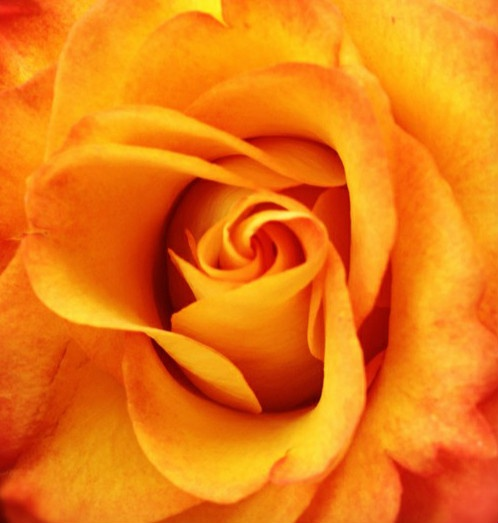 A yellow rose.: English Roses, Beautiful Flowers Plants, Orange Roses, Yellow Roses My, Roses My Favorites, Colorful Roses, Orange Colorful