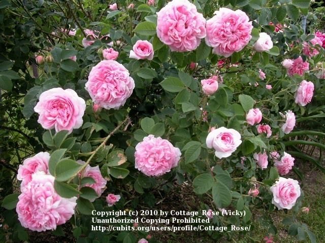 Rose Alba Konigin Von Danemark Heritage Rose Heirloom