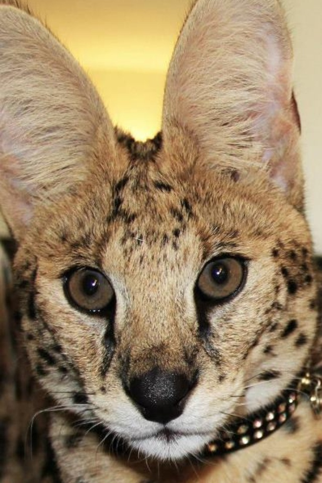 Zeus My African Serval African Serval Serval Cats