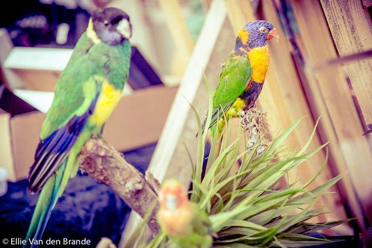 De regenbooglori is een opvallend fraai gekleurde vogel die 25 tot 30 cm lang is, met een spanwijdte (van de vleugels) van 17 cm. De kop is diepblauw met op het achterhoofd een groengele band. De vleugels, rug en staart zijn felgroen, de borst is rood met blauwzwarte, horizontale strepen. De buik is heldergroen en de bevederde bovenbenen en de stuit zijn geel met groene strepen. In vlucht wordt een gele band over de ondervleugel zichtbaar, die verder roodgekleurd is.