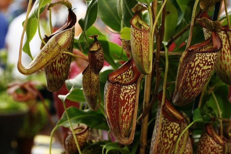 Tropical Pitcher Plants. Nepenthes, also known as tropical pitchers, are carnivorous plants native to tropical habitats in Australia, Asia and Sri Lanka. These plants contain pitchers that start as small buds and contain self-produced liquid. Lured by the nectar's scent, when insects (or even small animals like mice) they find themselves trapped.
