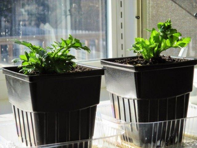 Выращивание сельдерея на подоконнике