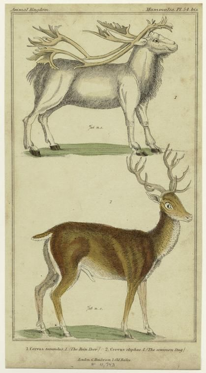 The rein deer ; The common stag.  [The reindeer ; The common stag.] (1834-1837)