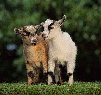 Pygmy goats - Dr. Steinberg and Rasputin