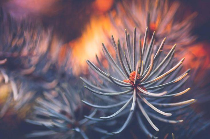 Pine needles #macro #pine #needles  #christmas #decoraton #sunset #silhouette  #sun #dream #summer #autumn  #holiday  #vacancy #viaggiare #sunset  #nikon  #nikond90 #nikonitalia #twitter