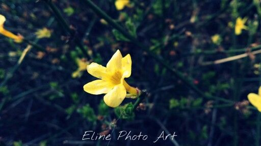 Yellow Jasmin