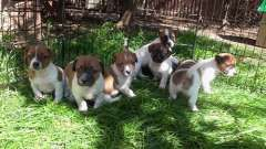 Pure Jack Russell Puppies for sale. Quality cared for pups,. | Jack Russell Terrier puppies for sale Rosehill New South Wales on pups4sale - https://www.pups4sale.com.au/dog-breed/446/Jack-Russell-Terrier.html