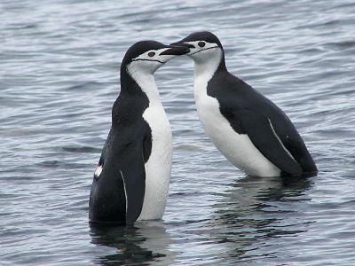 Pingüinos de Barbijo #antartida #pinguinos #polosur