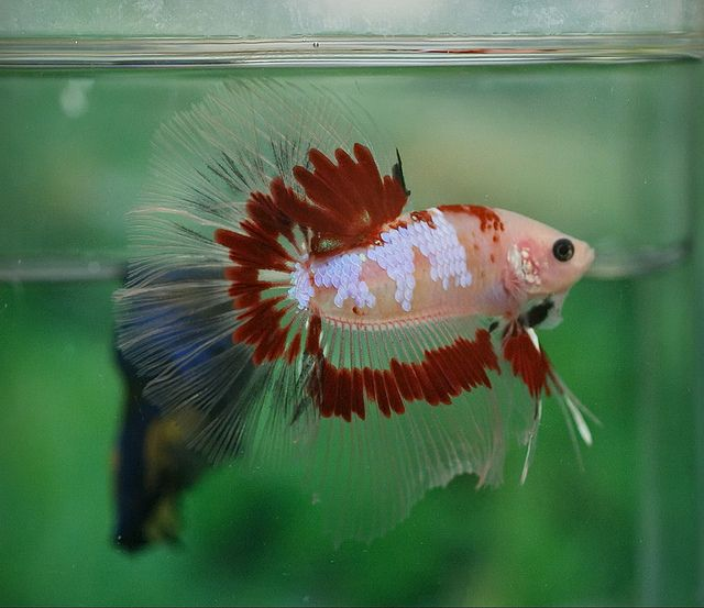 572 best fabulous beta fish images on pinterest for Cute betta fish