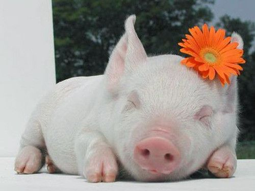 babe: Sleep Beautiful, Piglets, Orange Flower, Pets, Pigs, Sweets Dreams, Baby Animal, Flower Power, Piggies