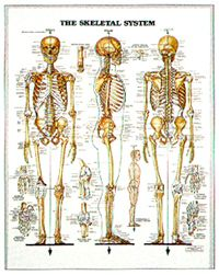 Skeletal System Chart Australia Anatomy Chart Australia Online Point Cook Pilates  - The Skeletal System Chart, $45.95 (http://www.pointcookpilates.com.au/the-skeletal-system-chart/)