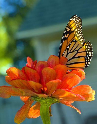 beautiful combo: God Creations, Beautiful Butterflies, Colors Combos, Orange Crushes, Spring Colors, Milkw Butterflies, Orange Flowers, Monarch Butterflies,  Monarch Butterfly