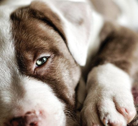 great pit bull photo: Chocolates Trifles, Pitti Pictures, Pitti Puppys, Stunning Pitti, Pits Bull Mixed, Bullying Baby, Bullying Breeds, Puppys Faces, Pitbull 3