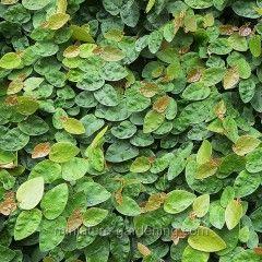 Miniature Gardening - Ficus pumila > $3.99