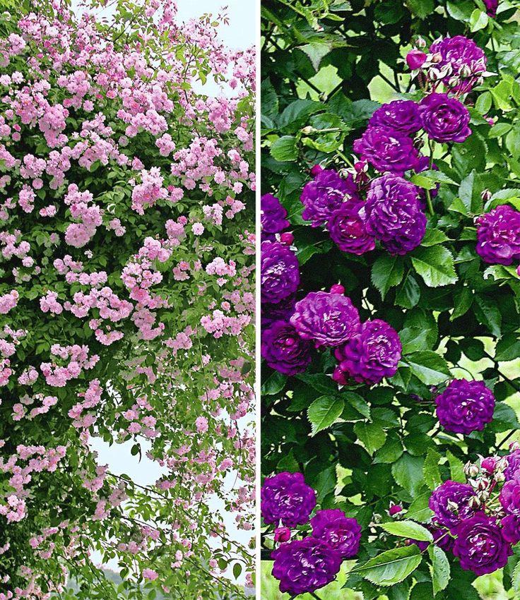 Baldur Garten Rosen – siddhimind.info