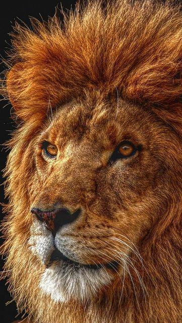 Majestic Lion- | LadyLuxuryDesigns❤︎