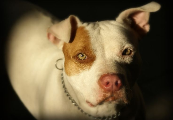 Best high quality foods for pitbulls