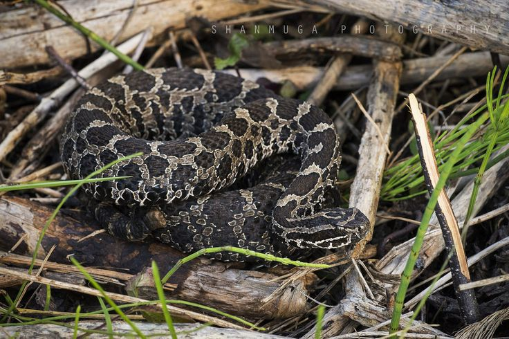 Field Herp Forum View Topic Pure Michigan Pure Michigan Rattlesnake Pure Products