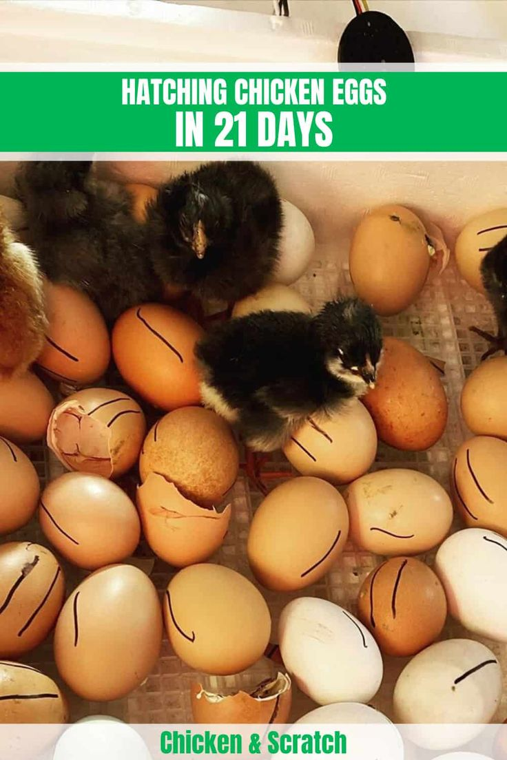 Hatching chicken eggs in 21 days with without incubator