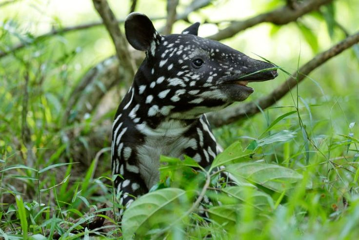 Malayan Tapir Putri, Born On 3 June, Enjoys Her Forest Floor Playtime At  Night Safari. The Malayan Tapir Is One Of The Most Endangered Animals In Su2026  ...