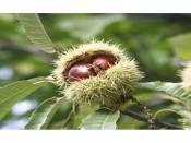 Kestane Fidanı Aşılı 100-150cm SAKSILI 4 Yaşında http://www.fidanistanbul.com/urun/2554_kestane-fidani-asili-100-150cm-saksili-4-yasinda-.html Fidan Satışı, Fide Satışı, internetten Fidan Siparişi, Bodur Aşılı Sertifikalı Meyve Fidanı Süs Bitkileri,Ağaç,Bitki,Çiçek,Çalı,Fide,tohum,toprak