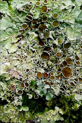 The beauty of lichen | Flickr : partage de photos !