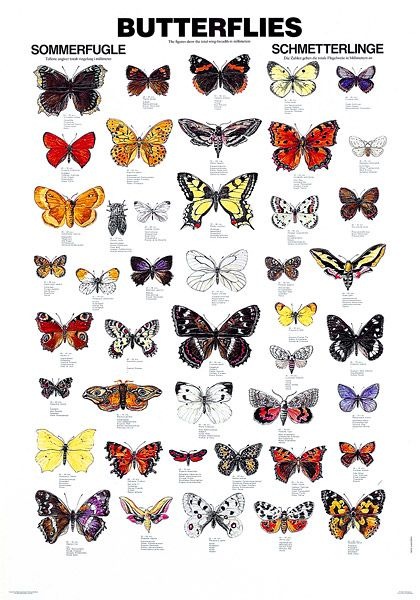types of butterflies with pictures and names | Butterflies Pictures And Names | Butterfly ... - photo#19