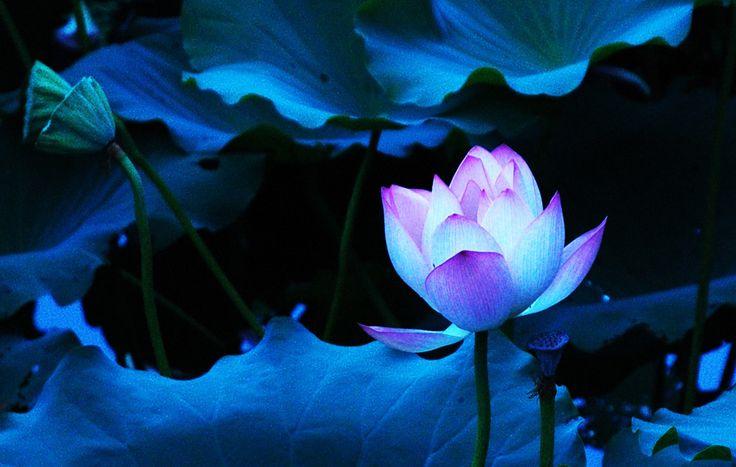 Blue Lotus Wallpaper - Google Search
