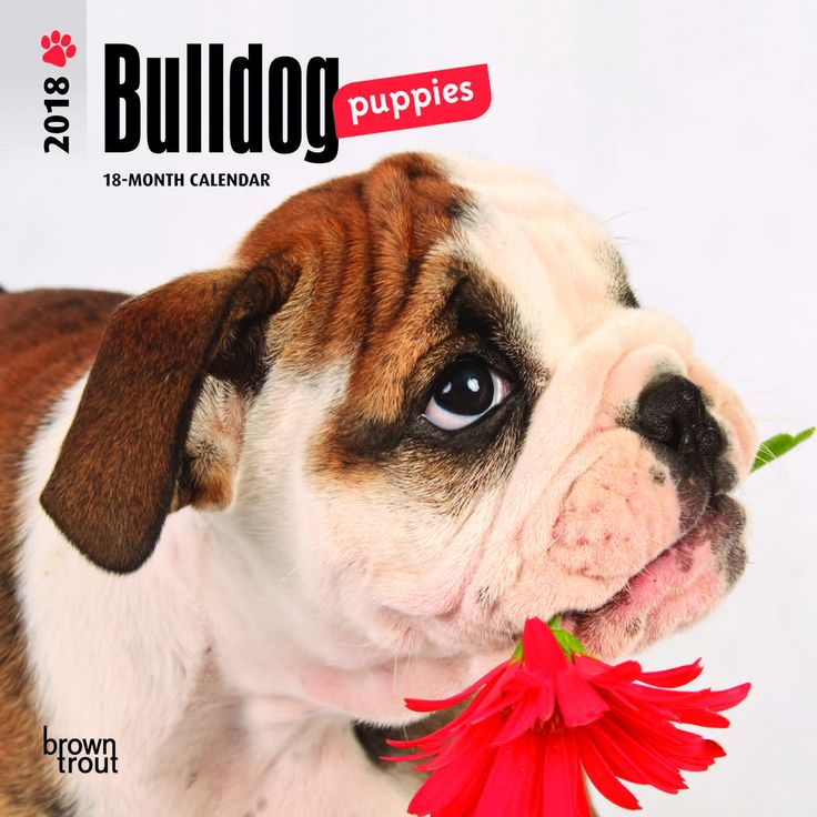 Bulldog Puppies 2018 Mini Wall Calendar
