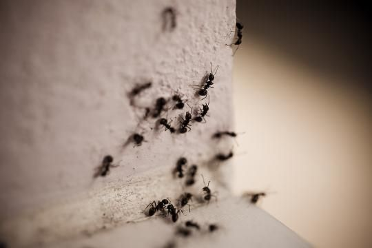 Ants are houseguests no one wants to cater for. Before you empty a can of bug spray, try one of these seven surprising, yet effective ant removal methods.