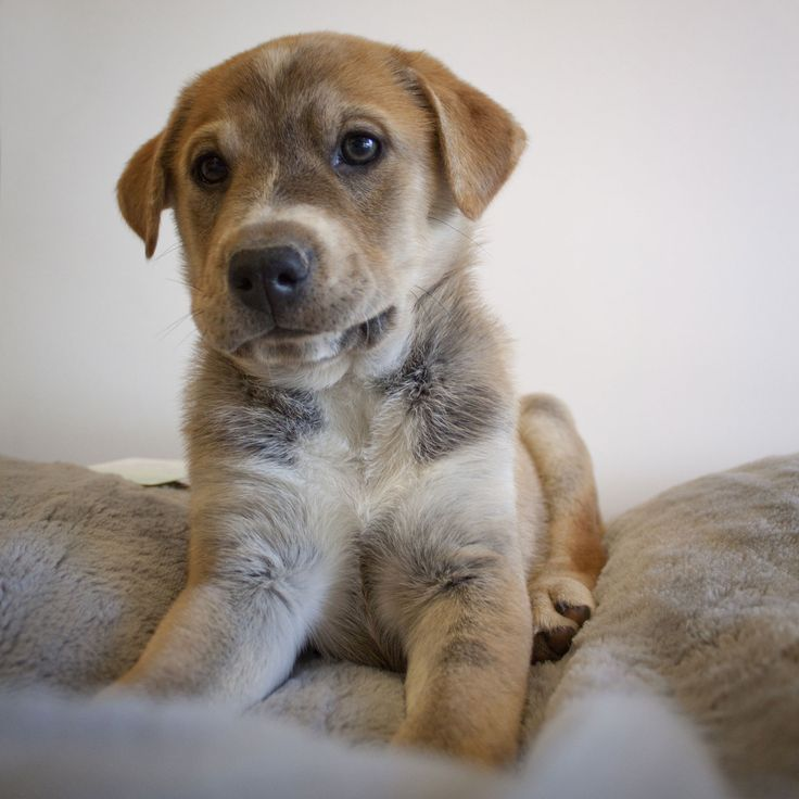 Border Collie Labrador Mix Puppies