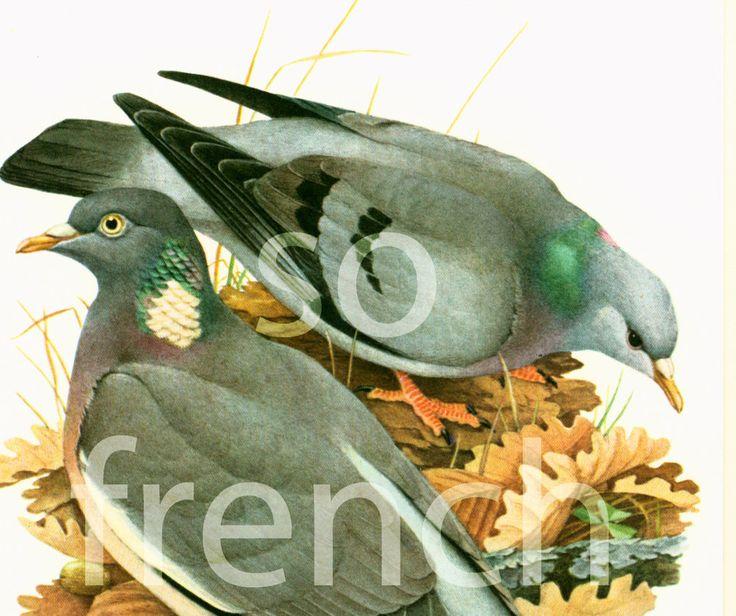 1961 Pigeon colombin, Pigeon ramier, palombe, illustration oiseau ornithologie…