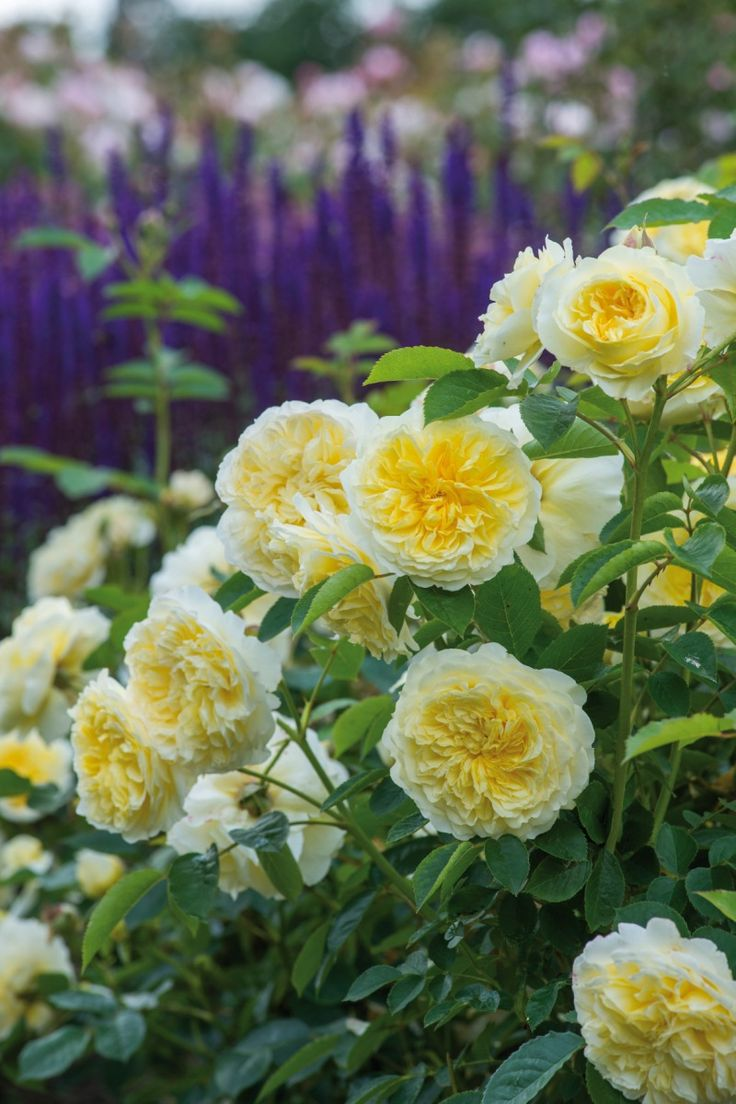 How to take care of roses - Climbing Roses