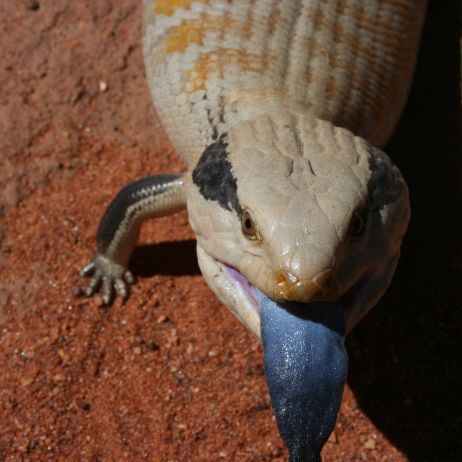 Centralian Blue Tongued Lizard Tanami Track Northern Territory