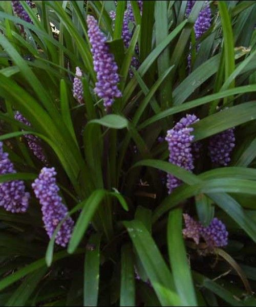 Liriope muscari 'Money Maker'