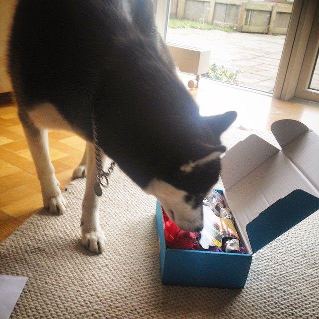 Ami der er siberien husky på blot 10 mdr, hun er over lykkelig over at hun har modtaget en Potebox så meget at hun hoppe rundt om sin Potebox - 1000 tak til Cecillie for det flotte billede. #poter #pote #potebox #siberien #husky #siberienhusky #hår #pæls #hund #puppy #happy #hvalp #hunde #healthy #smuk #sød #smart #hopper #kærlighed #kasse #hundeliv #dog #dyr #dogs #doglife #instadog