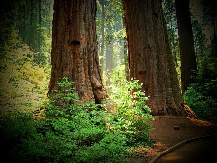 Redwood Forest: Forests, Bucket List, Bucketlist, Favorite Places, Places I D, Redwood Forrest, Redwood Forest, Photo