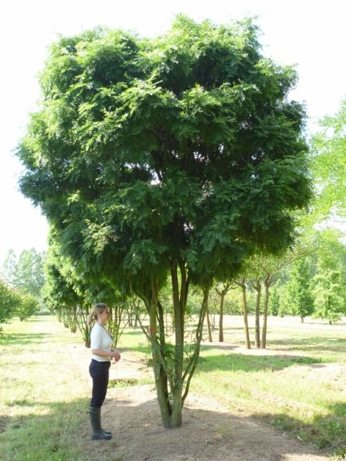 Gleditsia triacanthos 'Elegantissima' #tree #multitrunk #multistem www.vdberk.co.uk