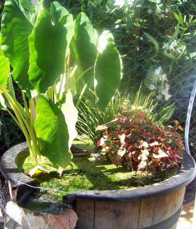 Aquatic Plants For Small Ponds: TROPICAL AQUATIC WATER POND PLANT ELEPHANT