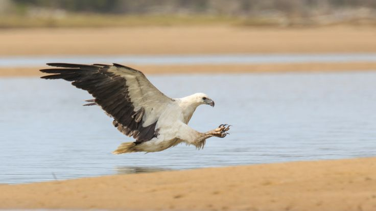 Sea Eagle making it look easy by scottymc on 500px