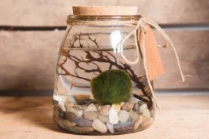 Marimo Moss Ball Care Guide - Everything you need to know