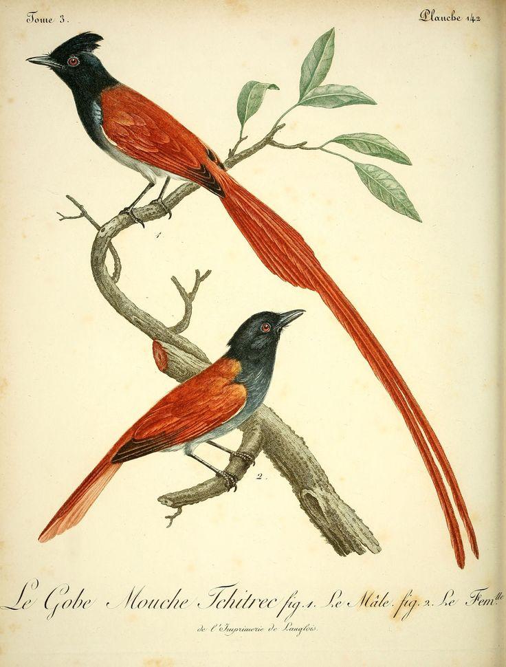 oiseaux afrique - Gravures oiseaux Afrique - 3364 Le gobe mouche tchitrec male et femelle - Gravures, illustrations, dessins, images
