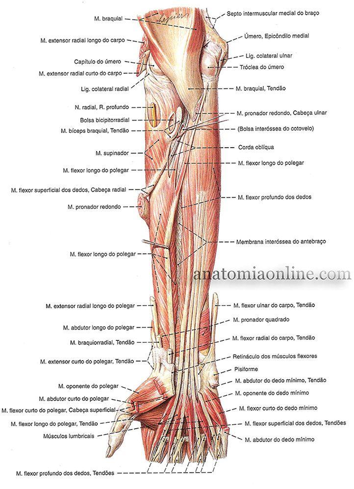 Músculos Do Antebraço Anatomia Dos Ossos Anatomia Corpo