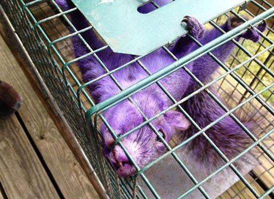 Purple Squirrel in Pennsylvania